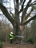 Marking an old tree that will be preserved. Photo: AIF
